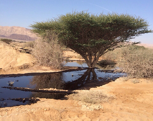 Oil contamination in Evrona Nature Reserve near Eilat. (Photo: Environmental Protection Agency) (Photo: Israel Nature and Parks Authority)