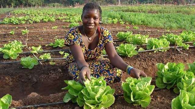 Growing lettuce in Senegal using drip-irrigation (Photo: MASHAV)