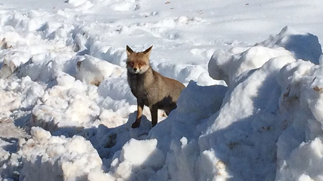 A fox braving the cold in the Golan Heights (Photo: Dana Bahat)