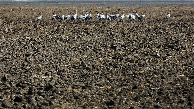 Cranes stand in a dry agricultural field in the Hula Valley (Photo: Amir Cohen/Reuters)