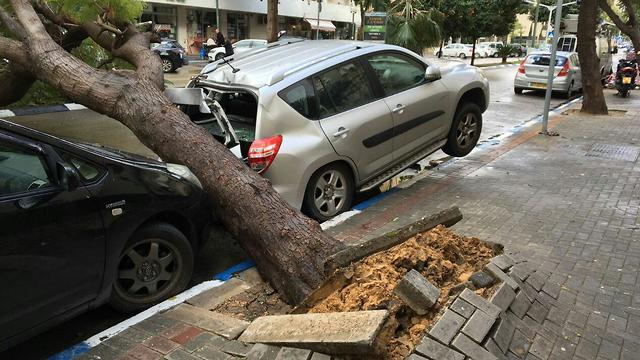The uprooted tree in Tel Aviv (Photo: Amir David)