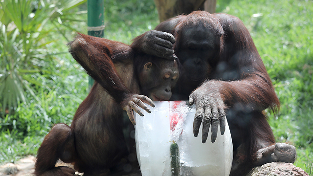 Apes at a Jerusalem zoo cooling off (Photo: EPA)