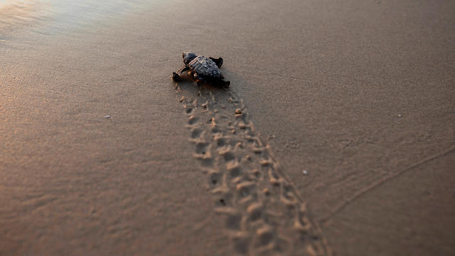 A newly hatched baby sea turtle makes its way into the Mediterranean Sea for the first time, as part of the Israeli Sea Turtle Rescue Center's conservation program near Mikhmoret