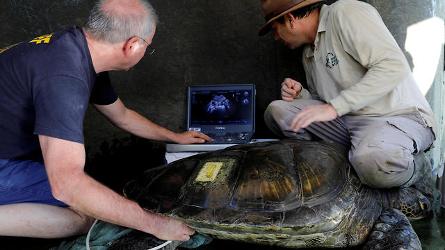 A veterinarian performs an ultrasound scan on a female green sea turtle at the Israeli Sea Turtle Rescue Center in Mikhmoret