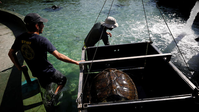 Researchers prepare to lift a green sea turtle out of a pool at the Israeli Sea Turtle Rescue Center in Mikhmoret