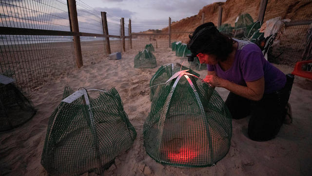 A volunteer looks at a sea turtle nest inside a protective nesting site set up by the Israeli Sea Turtle Rescue Center on a beach near Mikhmoret
