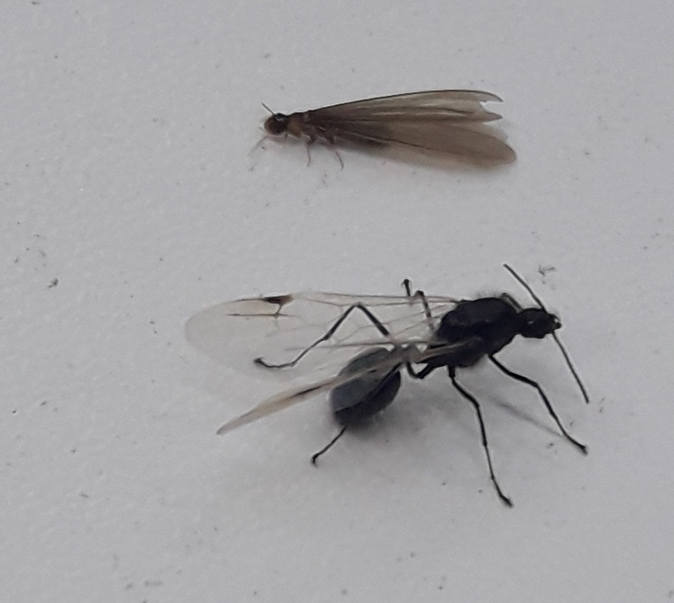 Winged termites and ants (Photo: Ettay Nevo, Davidson Institute of science education)