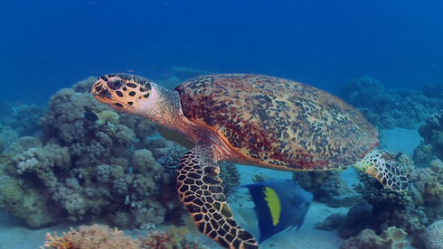 A sea turtle swims near a reef in the Bay of Eilat