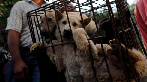 Dogs displayed in cages during festival