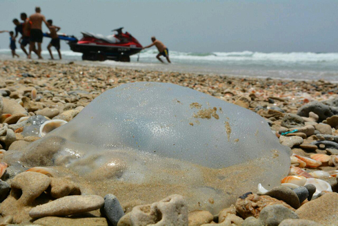 An archive picture showing a washed-up jellyfish at one of Israel's beaches