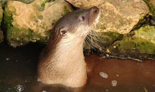 The common otter