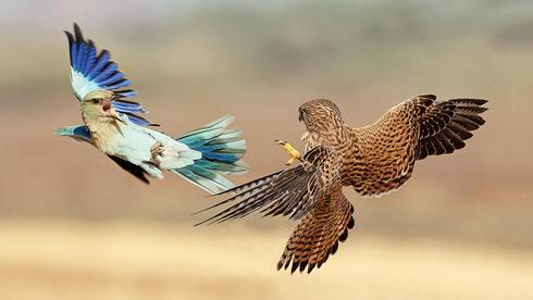 A roller and a hawk