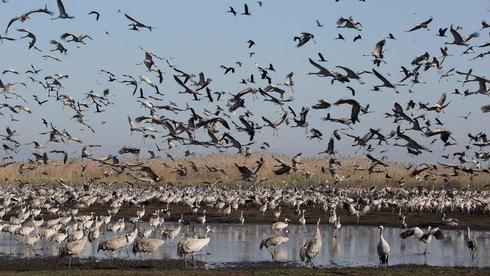 A huge flock of cranes in Israel's Hahula nature reserve