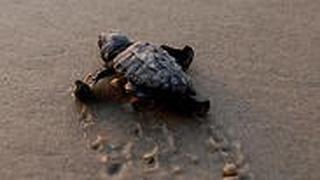 A newly hatched baby sea turtle makes its way into the Mediterranean Sea for