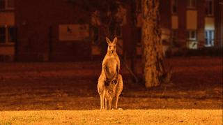 A kangaroo stands at a field illuminated by wildfires in Australia