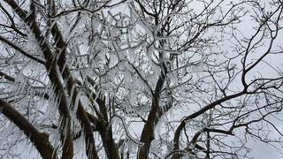 Icicles on a tree in northern Golan Heights