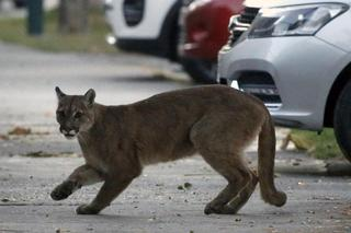Puma walks in the locked-down streets of Santiago, Chile