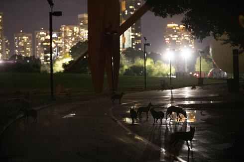 Pack of jackals drink water from a puddle at Hayarkon Park in Tel Aviv, Israel