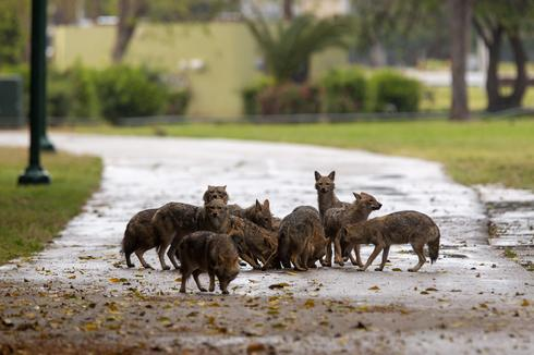 Jackals eat dog food that was left for them by an Israeli woman at Hayarkon Park in Tel Aviv