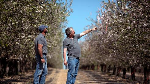 Almond trees that are being pollinated and fertilized by machine technology