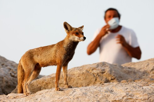 A man wears a face mask as a red fox boldly stands his ground