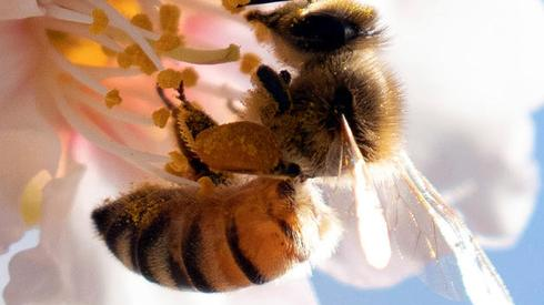 A bee sits on a flower budding from an almond tree
