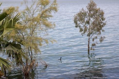 A bird swims where dry land used to be in the Sea of Galilee