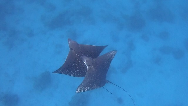 The spotted eagle rays mating