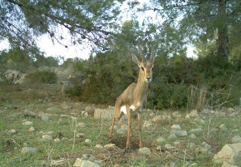 Mountain gazelle in Israel