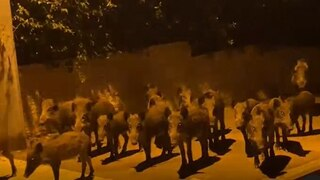 A herd of boars walking down the streets of Haifa, September 2020