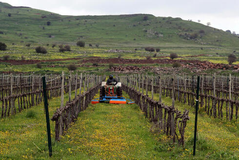 A man drives an agricultural tractor in a vineyard in the Golan Heights