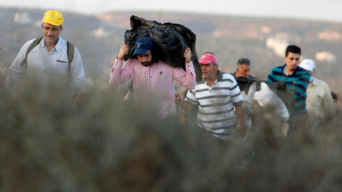 Palestinians make their way towards an olive field in the West Bank