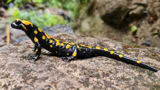 A fire salamander in the Banias