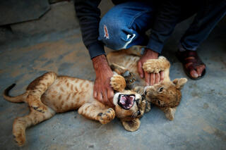 Palestinian man Naseem Abu Jamea plays with his pet lion cubs that he keeps on his house rooftop after buying them from a local zoo, in Khan Younis, in the southern Gaza Strip