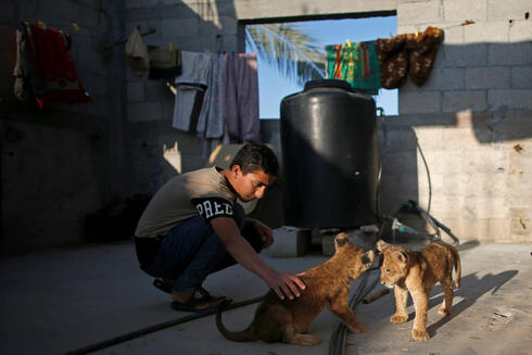 A boy plays with two pet lion cubs that Palestinian man Naseem Abu Jamea bought from a local zoo and keeps on his house rooftop, in Khan Younis, in the southern Gaza Strip