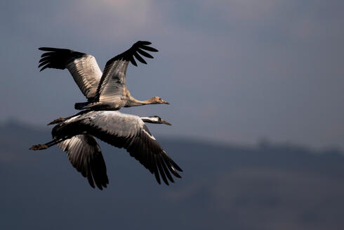 Cranes fly above a lake during the migration season at Hula Nature Reserve, in northern Israel