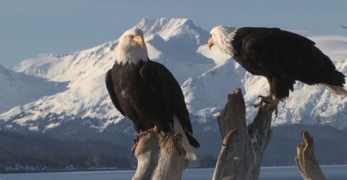 The beauty of Alaska, a pair of eagles