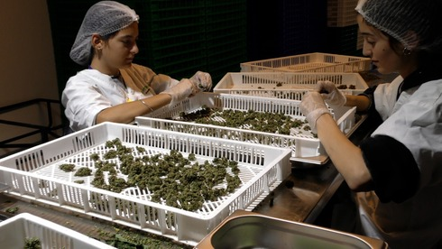 Workers at Intelicanna's facility sort through cannabis products