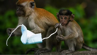 Face masks are proving a deadly hazard for wildlife - a choking hazard for diminutive macaque monkeys, for example