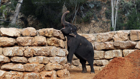 An Asian elephant eats in his living area in The Biblical Zoo in Jerusalem, which is closed due to the coronavirus disease