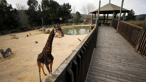 A South African giraffe walks in her living area in The Biblical Zoo in Jerusalem, which is closed due to the coronavirus disease