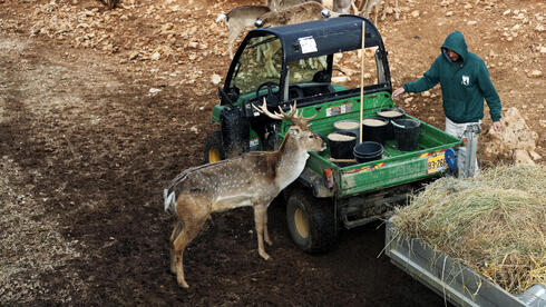 A zookeeper feeds animals as a Persian fallow deer stands by his vehicle in The Biblical Zoo in Jerusalem