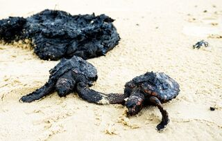 Turtles smeared in tar at Gador Nature Reserve after the oil spill off Israel's coast