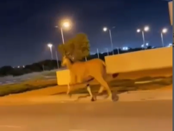 Screengrab from a video showing an antelope running down Highway 41 in southern Israel