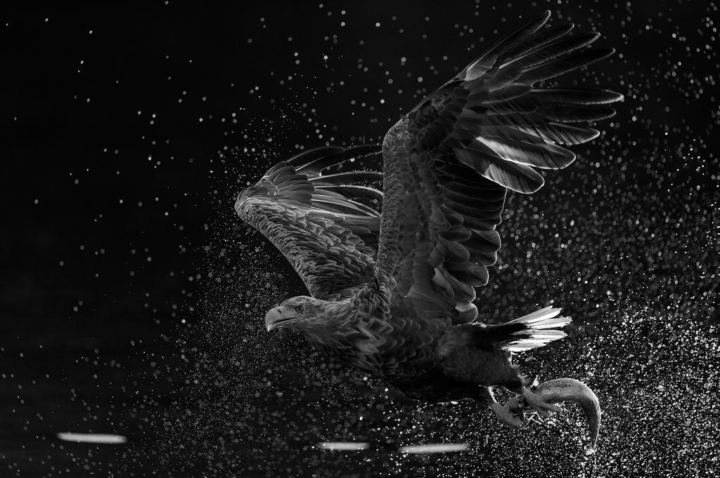 WHITE-TAILED EAGLE IN A SHOWER OF POWER