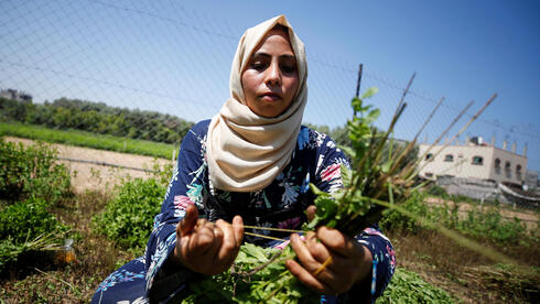 A Palestinian woman collects mint in her family land, in Beit Lahiya town in the northern Gaza