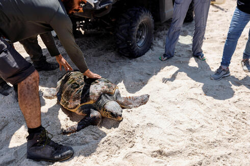 A ranger helps release a loggerhead sea turtle back to sea at the National Sea Turtle Rescue Center in Palmahim, August 5, 2021