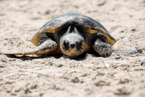 A loggerhead sea turtle makes her way back to sea at the National Sea Turtle Rescue Center in Palmahim, August 5, 2021