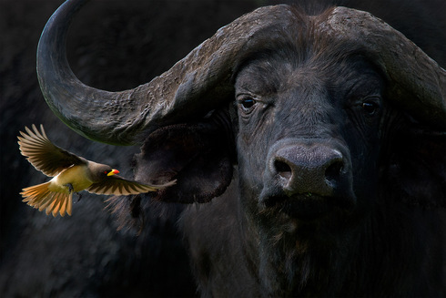 YELLOW-BILLED OXPECKER WITH CAPE BUFFALO
