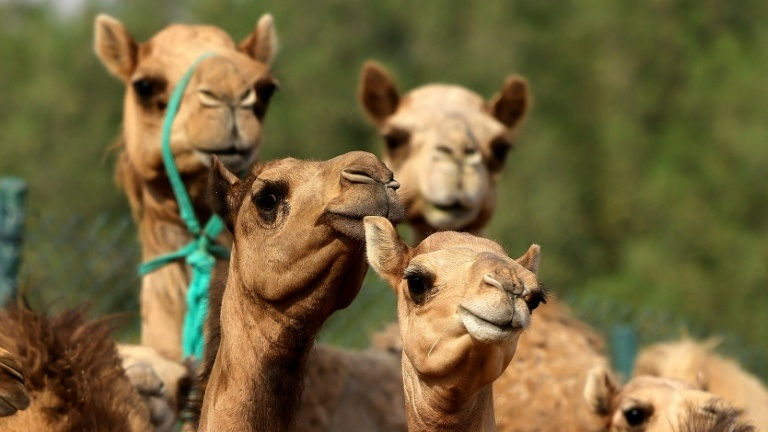 cloned camel calves are big earners in the Gulf region